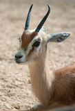 Gazella dorcas neglecta Royalty Free Stock Photography