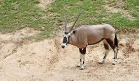 Gazella ή Gemsbok Oryx Στοκ Εικόνες