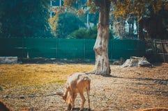Gazella. Giza, egypt, march 4, 2017: gazella at giza zoo Royalty Free Stock Photography