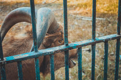Gazella im Käfig Stockfotografie