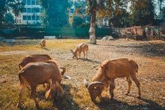 Gazella im Zoo Lizenzfreie Stockbilder
