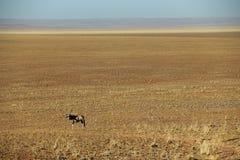 Gazella o gemsbok dell'orice nel deserto del de Namib vicino al solitario in Namibia Immagini Stock