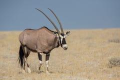 Gazella Oryx Gemsbok Στοκ φωτογραφία με δικαίωμα ελεύθερης χρήσης