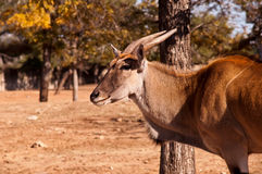 Gazella thomsoni  . Thomson's Gazelle  in the Zoological Center Tel Aviv - Ramat Gan or Safari Stock Image