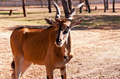 Gazella thomsoni. Lizenzfreie Stockbilder