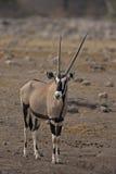 Gazella van Oryx Stock Foto