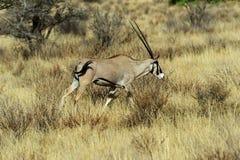 Gazella van Oryx Royalty-vrije Stock Foto's