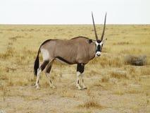 gazellaoryxantilop Royaltyfri Bild