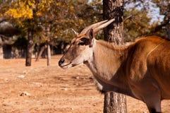 gazellathomsoni Fotografering för Bildbyråer