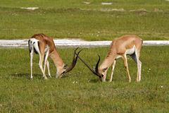 gazelle επιχορήγηση που βόσκει στοκ φωτογραφίες