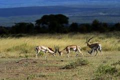 gazelle επιχορήγηση s Στοκ Εικόνες