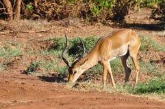 gazelle Африки Стоковые Фотографии RF