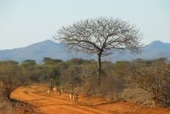 Gazelle Immagine Stock