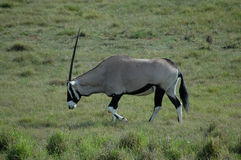Gazelle. Oryx or Gemsbok gazelle in the grassland in a game park in South Africa Stock Photography