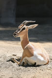 Gazelle photographie stock