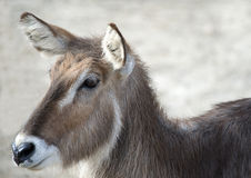 Gazelle. Closeup of a Gazelles Head and Shoulders Stock Photography