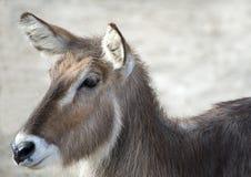 Gazelle Stock Fotografie