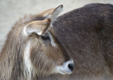 Gazelle. Closeup of a Gazelles Head and Shoulders Royalty Free Stock Photo