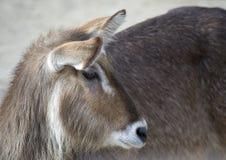 Gazelle Royalty-vrije Stock Foto