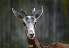 Gazelle Fotografia de Stock Royalty Free