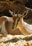 Gazelle. Young Thomson's Gazelle Sitting In The Sun Stock Image