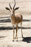 Gazelle Stock Images