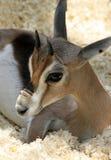 Gazelle Royalty Free Stock Photos