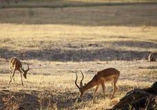 Gazelle Royalty Free Stock Image
