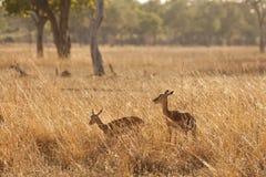 Gazelle Stock Photos
