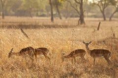 Gazelle Immagini Stock Libere da Diritti
