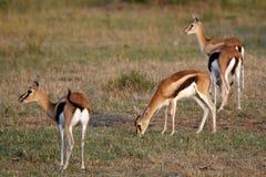 Gazelle Fotos de archivo
