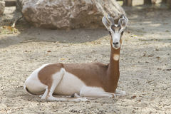 Gazelle Image stock