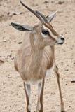Gazelle fotografia stock