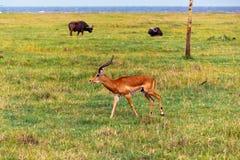 gazelle Arkivfoto