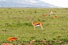 gazelle Στοκ φωτογραφίες με δικαίωμα ελεύθερης χρήσης