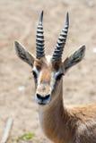 Gazelle Stock Images