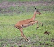 Gazelle Immagini Stock