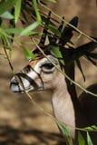 Gazelle Royalty Free Stock Photo