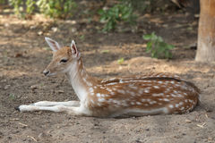 Gazelle Stock Photography