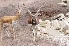 Gazelle Στοκ Φωτογραφία