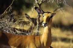 Gazelle Royalty-vrije Stock Foto's