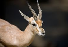 Gazelle Stockfotos