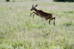 Gazelle. A jumping gazelle in the savannah royalty free stock images