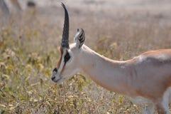 gazelle Fotos de archivo libres de regalías