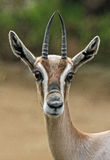 gazelle Стоковая Фотография