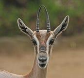 gazelle fotografía de archivo libre de regalías