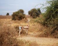 gazelle stockfoto