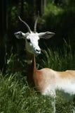 Gazelle Fotografia Stock Libera da Diritti