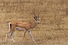 gazelle Fotografia de Stock Royalty Free