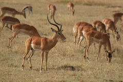 Gazelle. Photo taken in Africa of gazelle Stock Photo